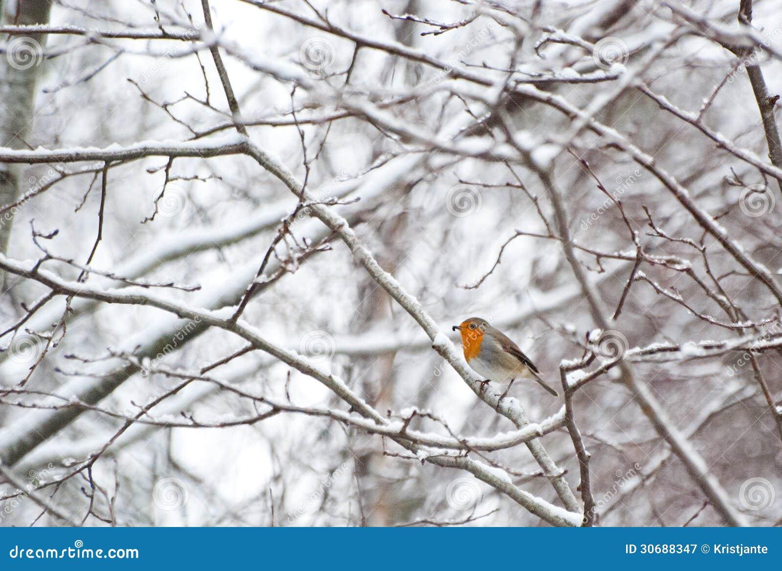 Robin nell inverno