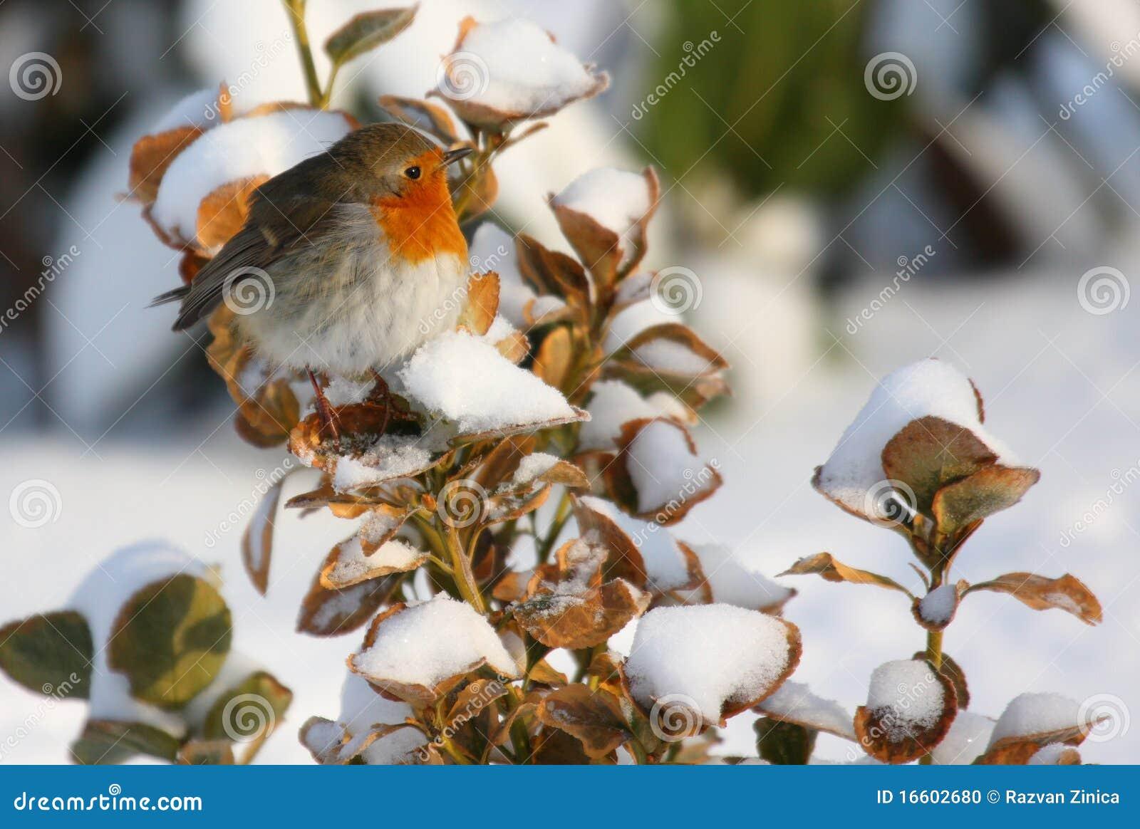Robin op sneeuwtak