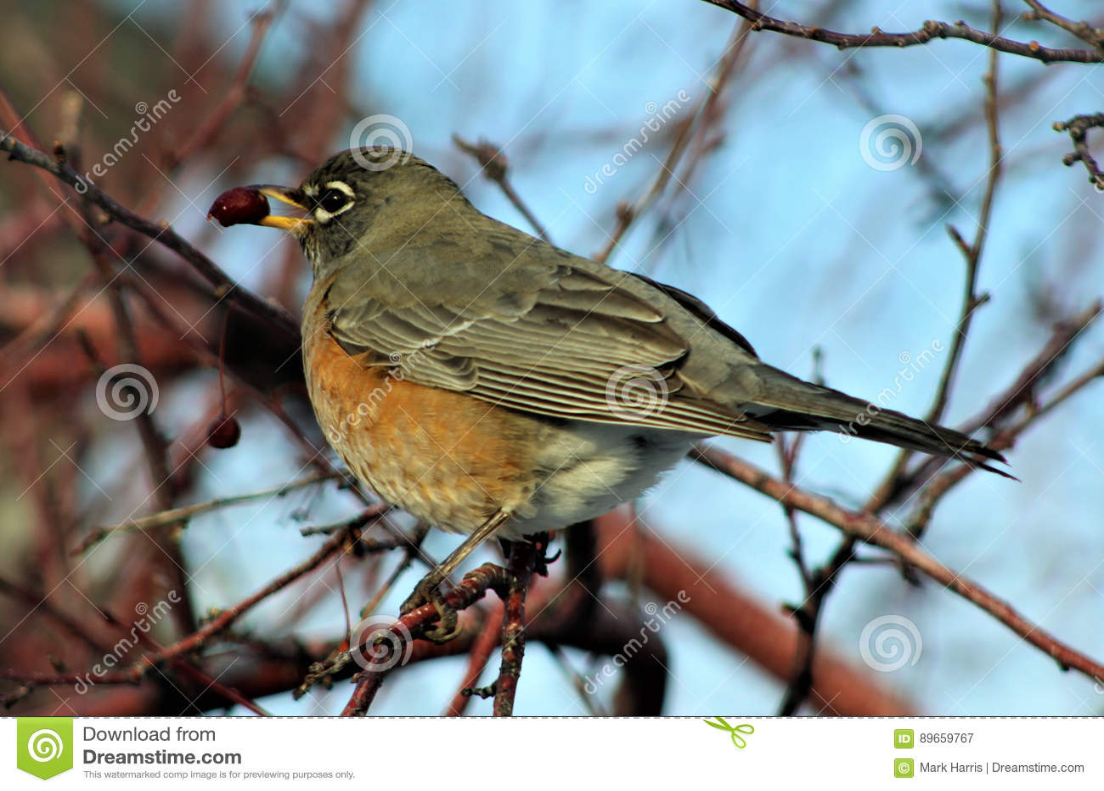 Robin Perched sur le membre d arbre avec la baie