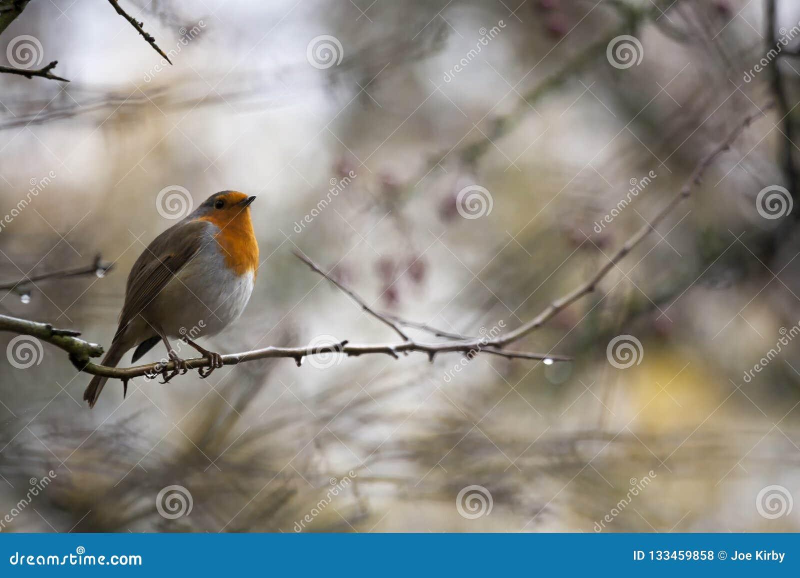 Robin Perched On un arbre avec les baies rouges