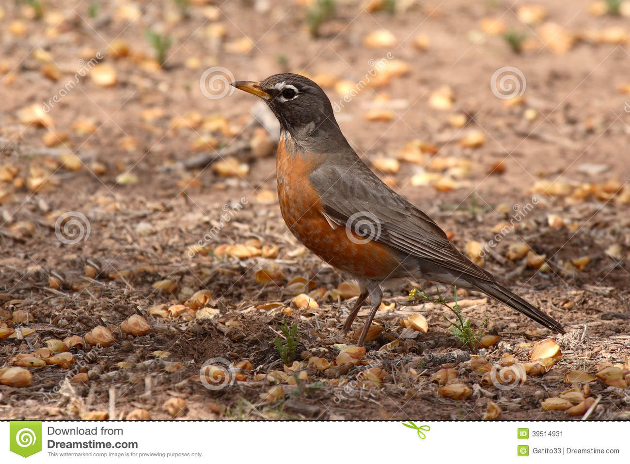 Robin Pointing With Beak