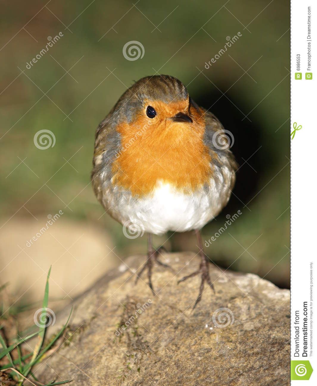 robin red breast chick stock image image of robin wild 6986553