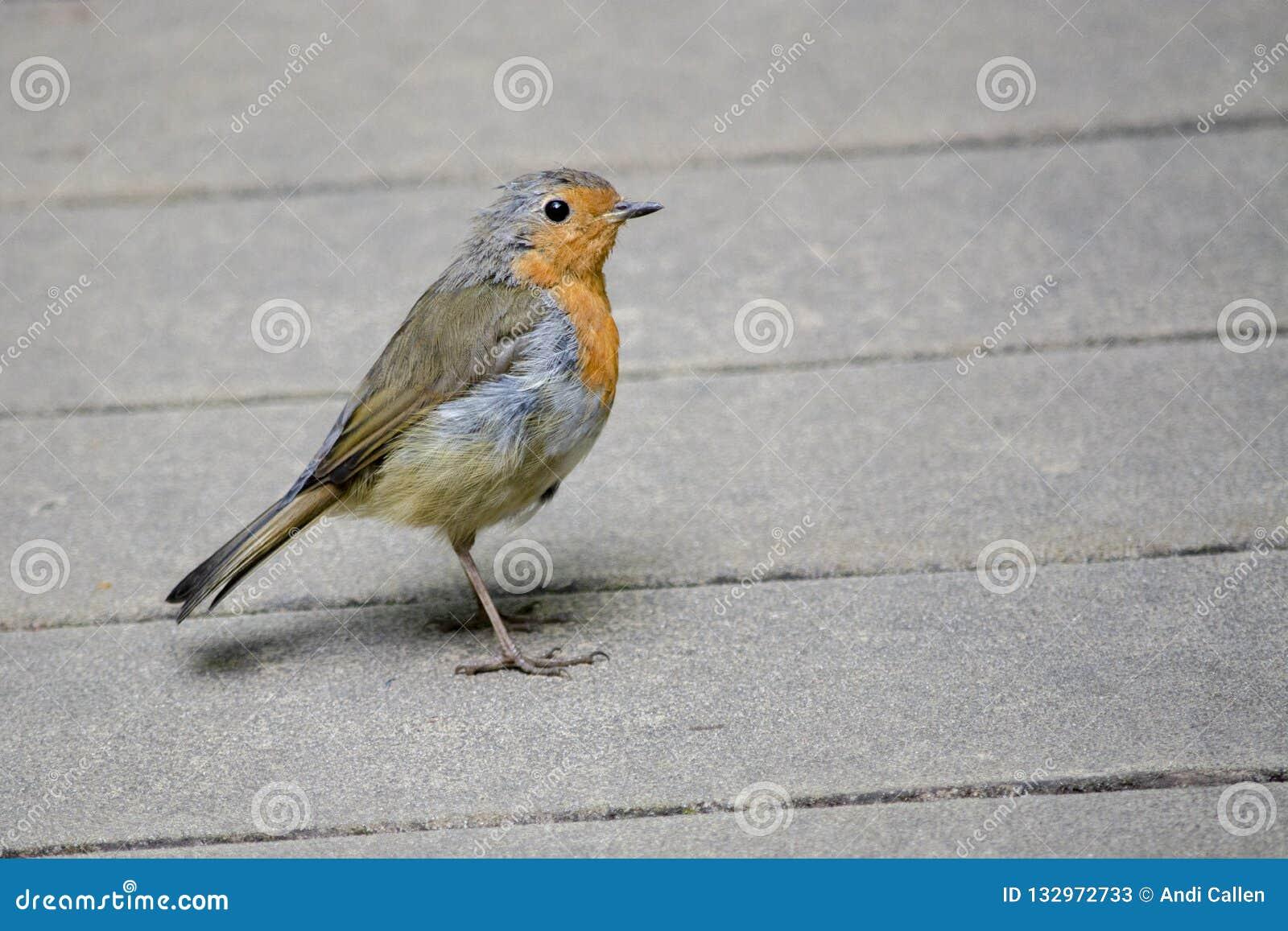 Robin Redbreast Erithacus-rubecula op Houten Decking