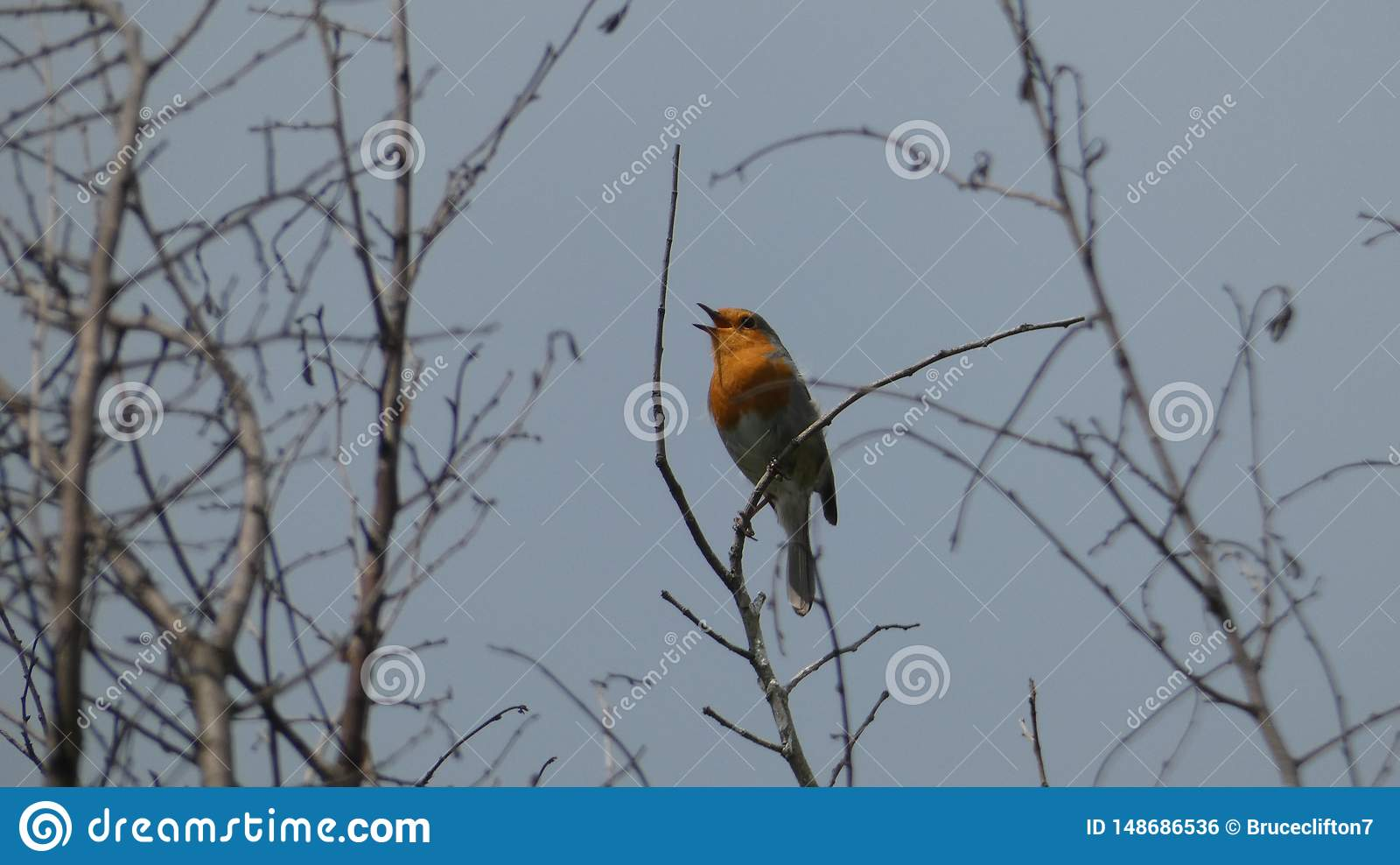 Robin Redbreast singing to its hearts delight in the evening sunset