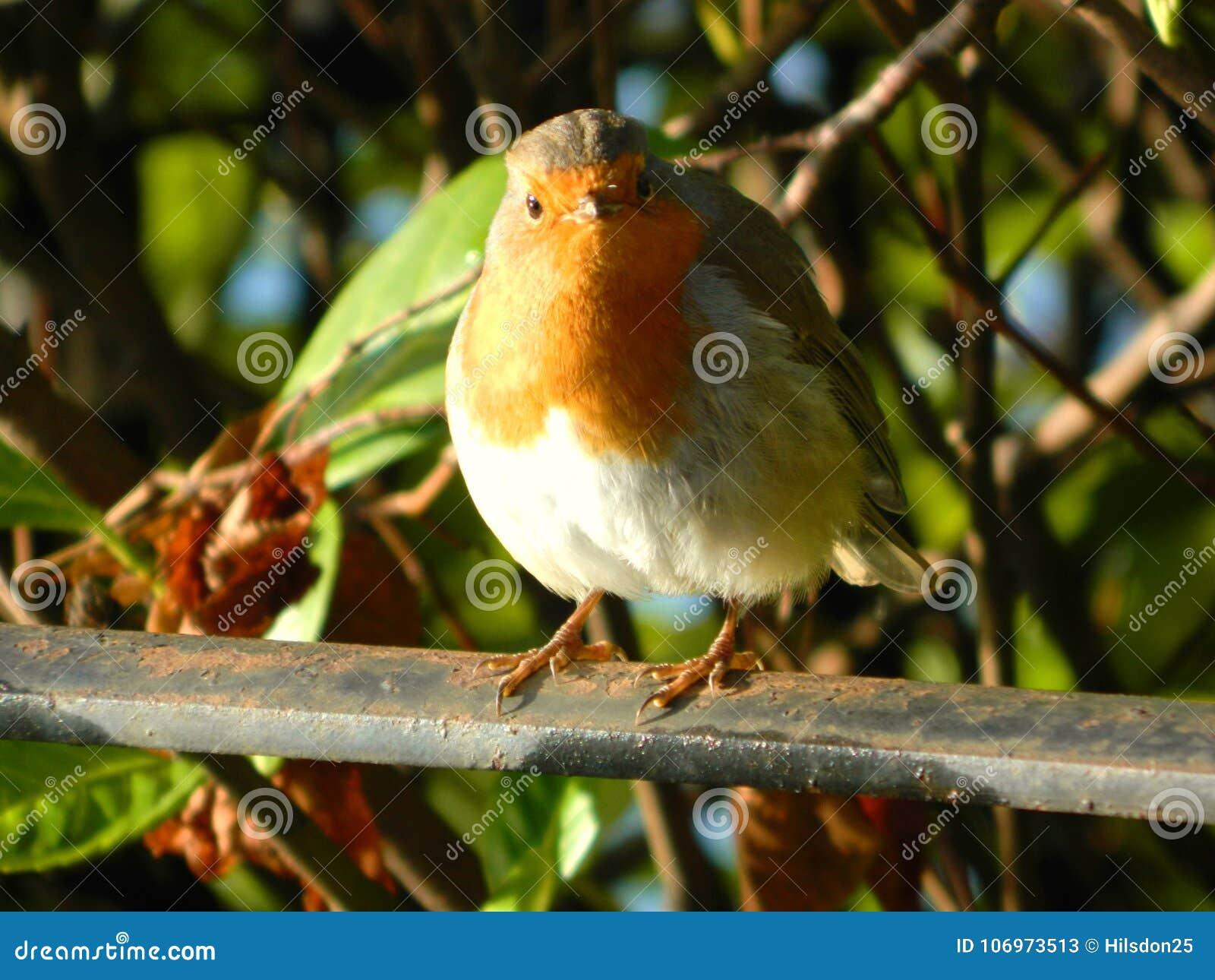Robin Redbreast som sätta sig på ett staket i Surrey UK