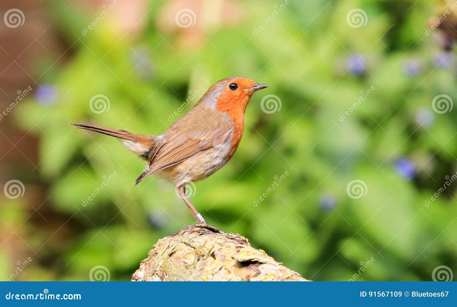 Robin sat on log