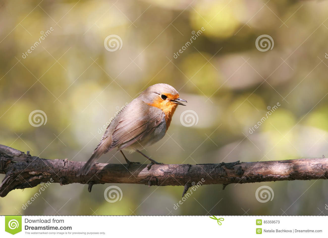 Robin Sitting On A Branch In The Spring And Sings A Song