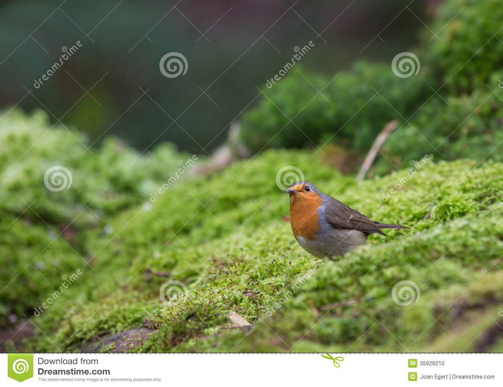 Robin sopra muschio