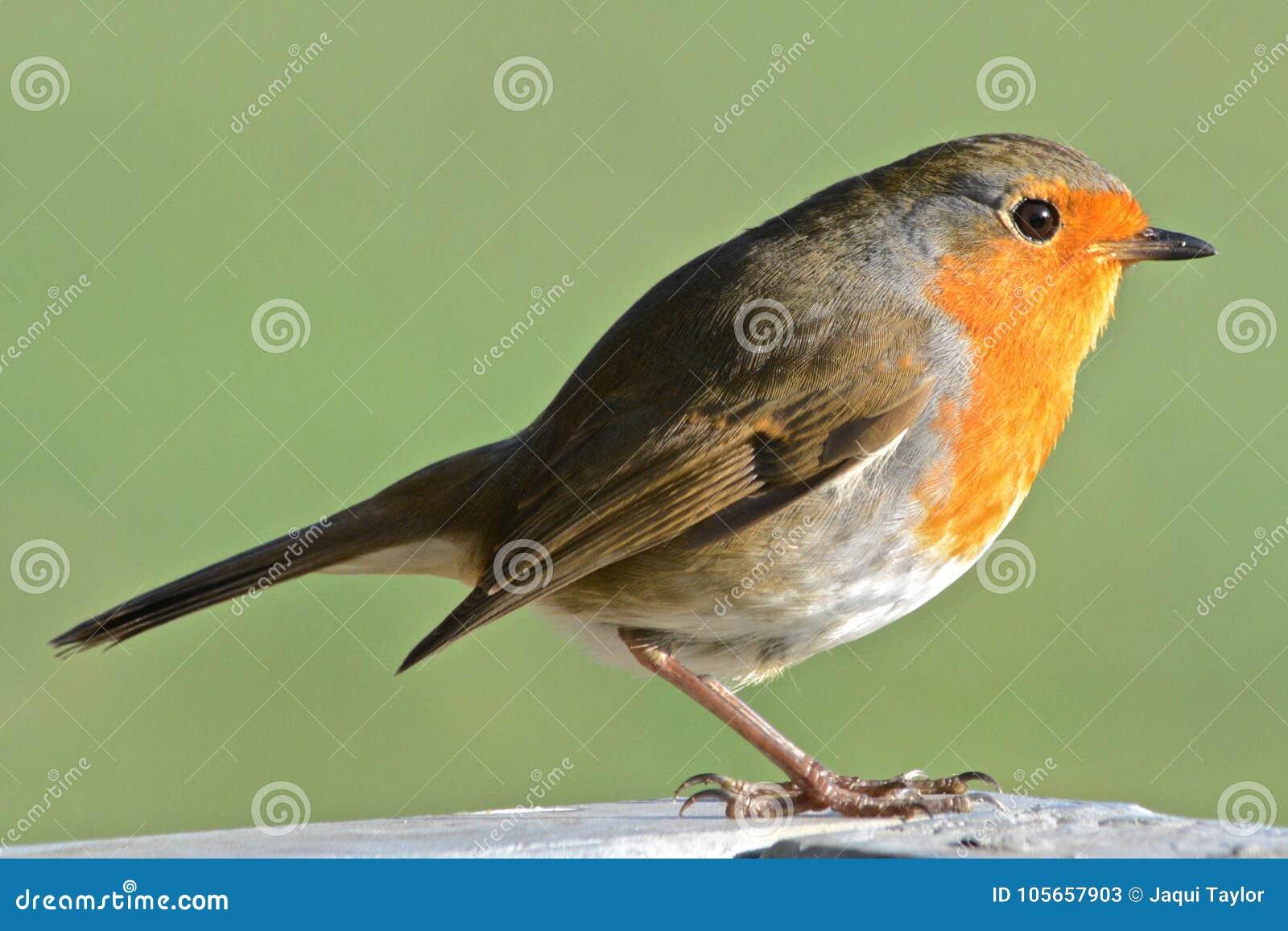 A robin on Southampton Common
