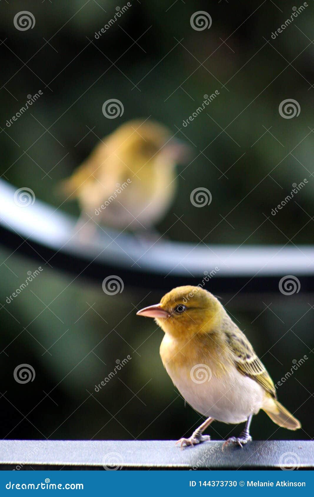 Robin streek op een spoor met tweede vogel vaag op achtergrond neer