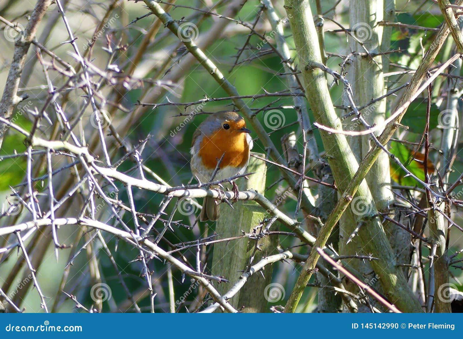 Robin streek op tak in de lente neer