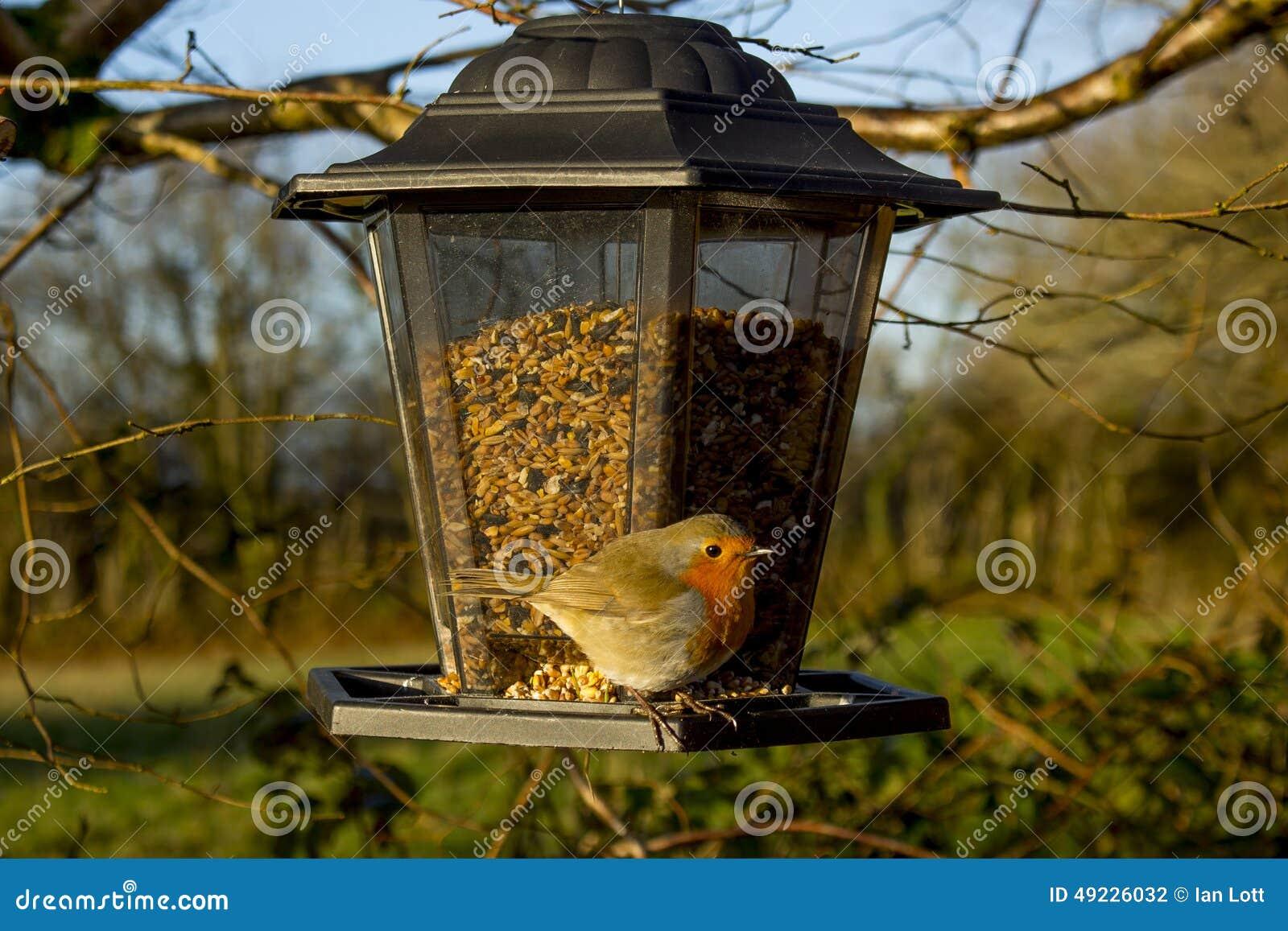 Robin su un alimentatore dell uccello