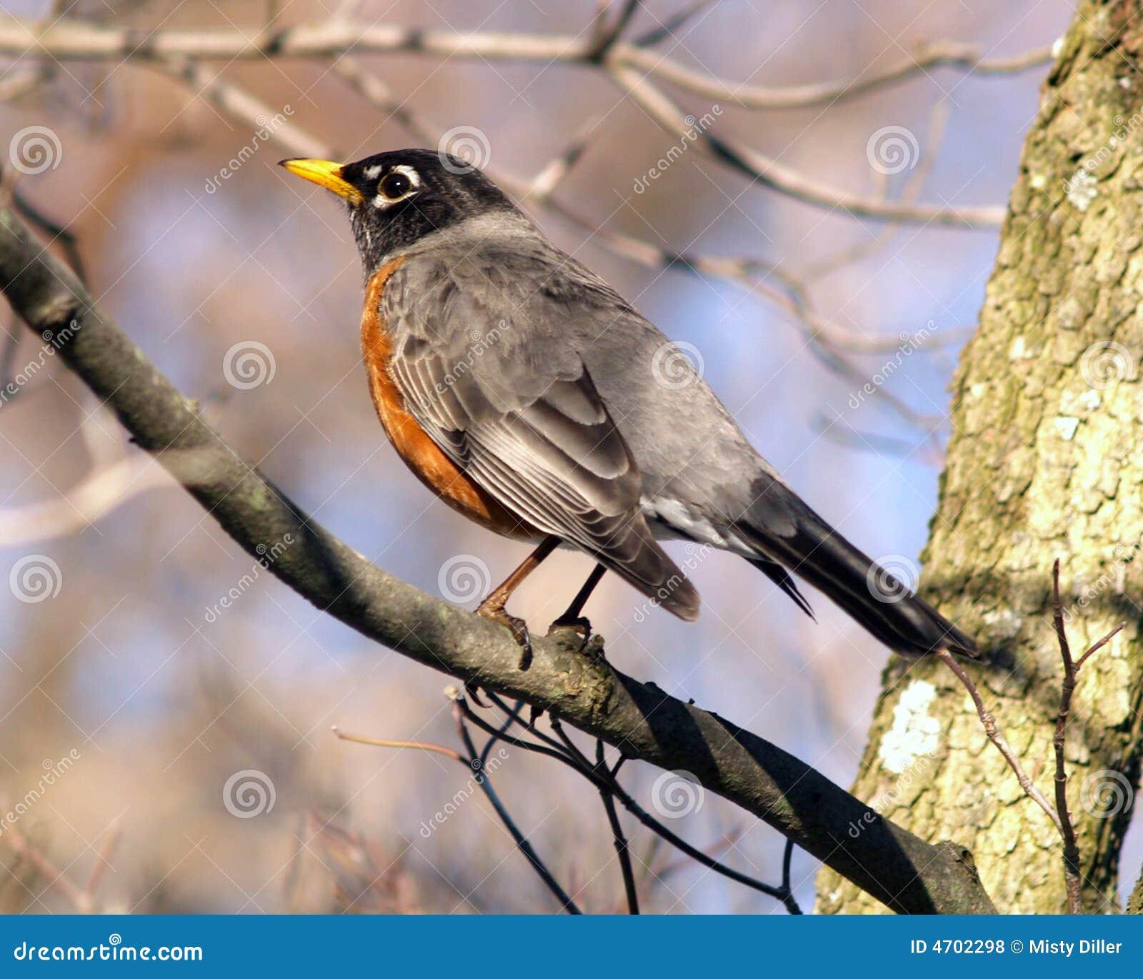 Robin wiosna