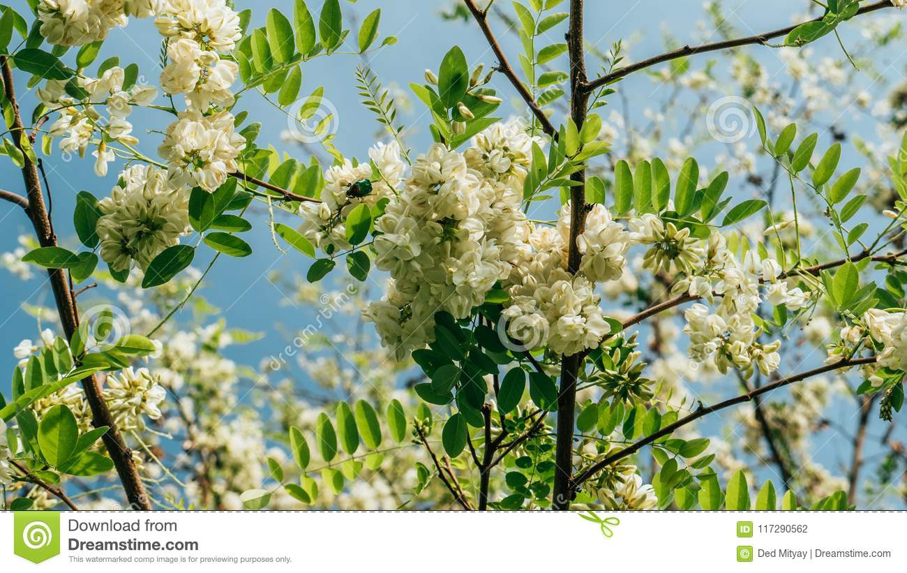 Robinia Pseudoacacia Or False Acacia With Blooming White Flowers In