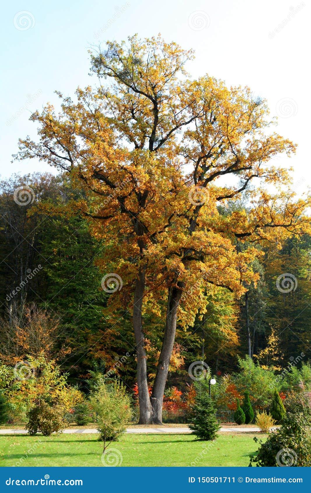 Roble alto en el parque en otoño