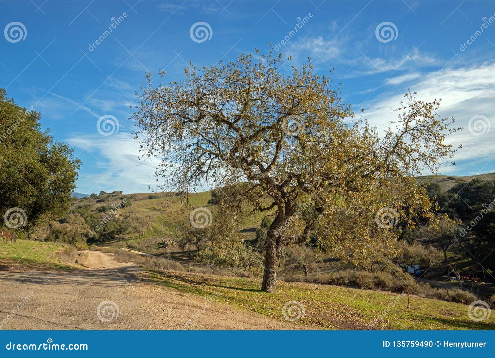 Roble de California en invierno en el viñedo central de California cerca de Santa Barbara California los E.E.U.U.