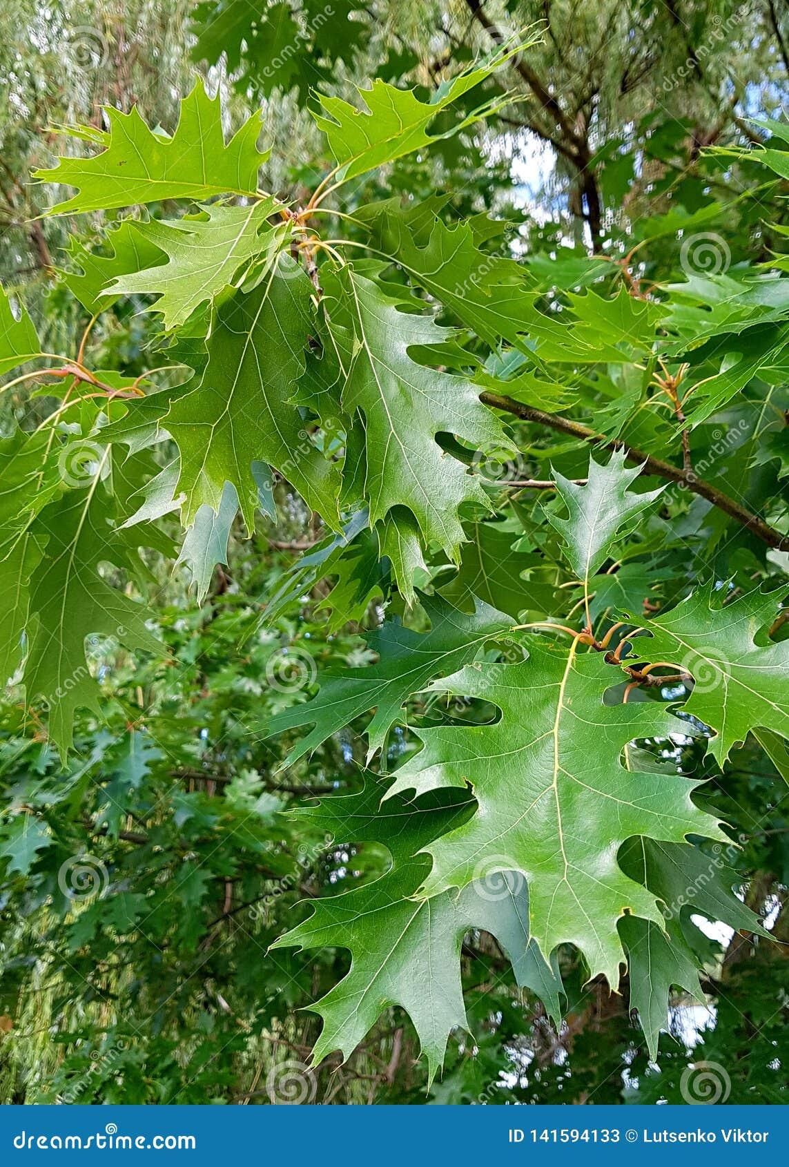 Roble verde de las hojas en árbol