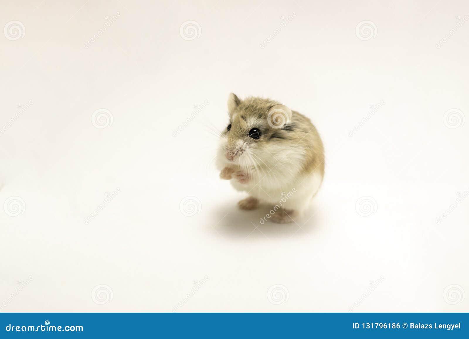 Roborovski Hamster Isolated On White Background Stock Photo