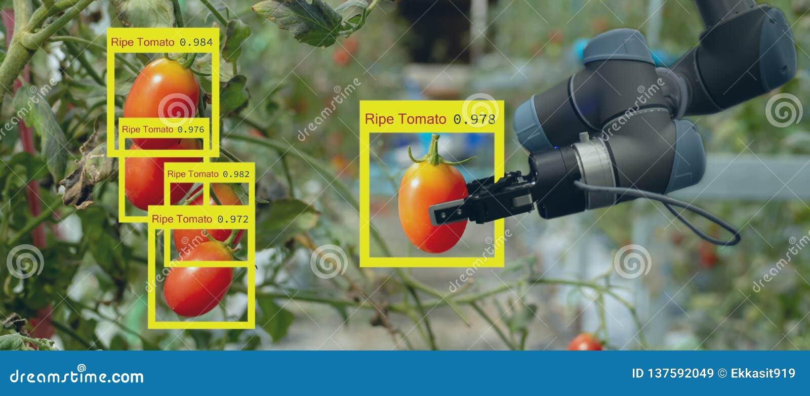 Robot astuto nel concetto futuristico dell agricoltura, automazione degli agricoltori del robot deve essere programmato per lavor