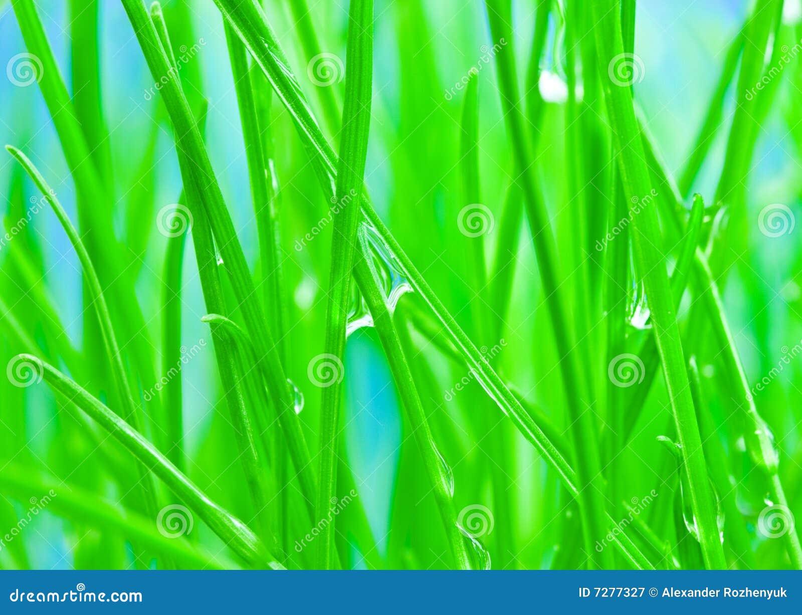 Rocío de la mañana en hierba verde al fondo