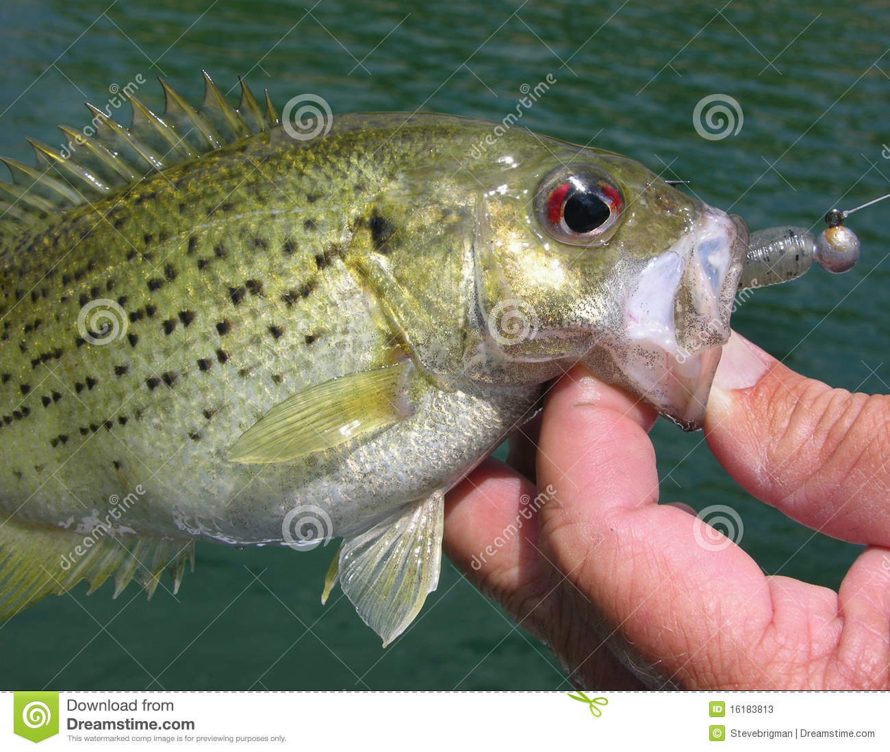 Rock bass stock image image of outdoors tackle fish for Rock bass fish