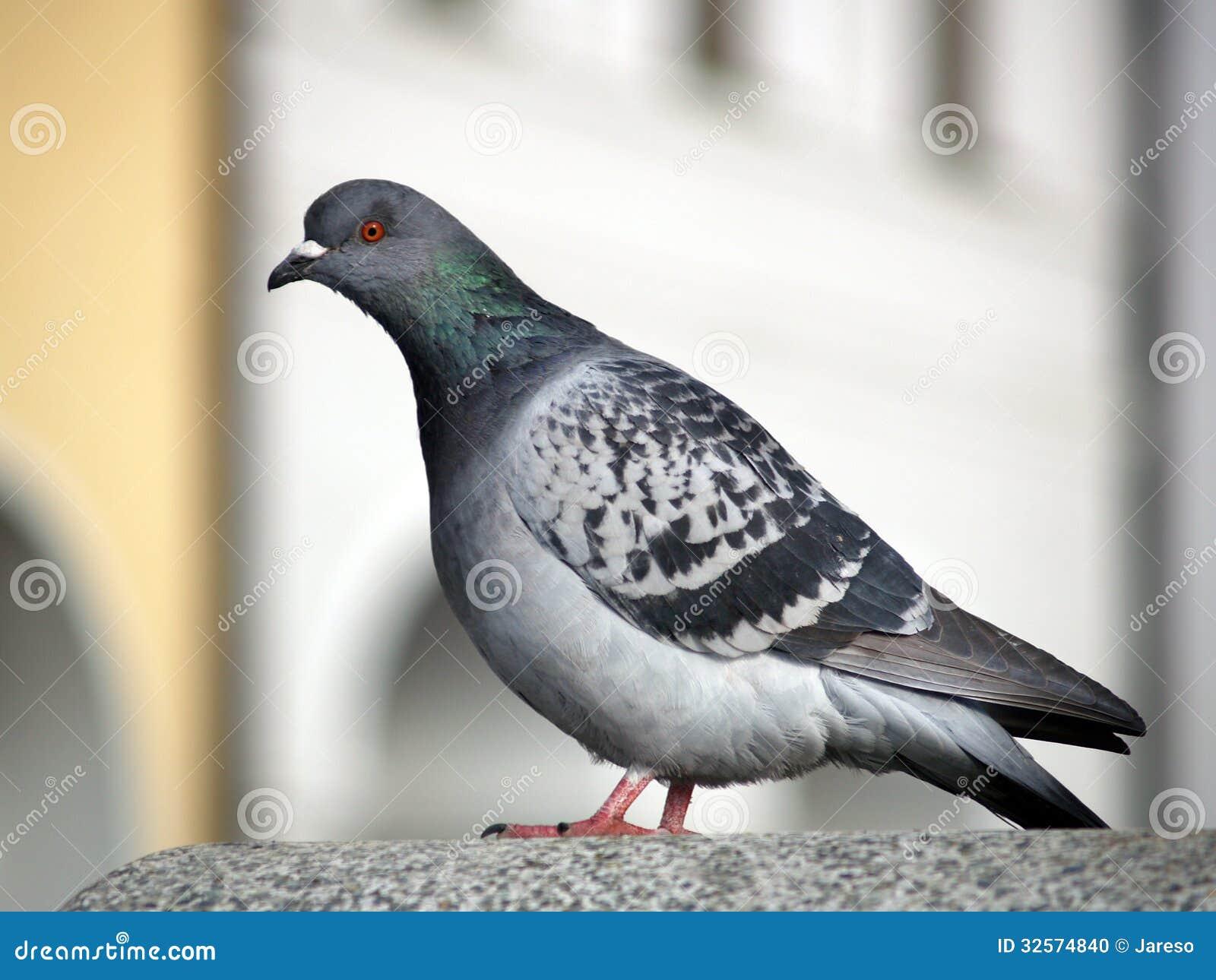 Rock Dove or Common Pigeon