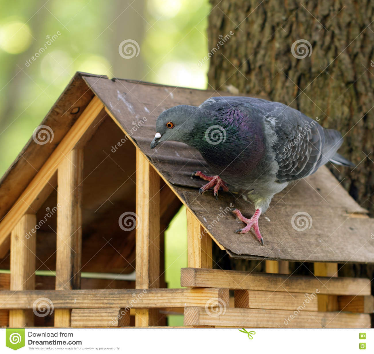 Rock Pigeon Sitting On Wooden Feeder Stock Photo Image Of Walking