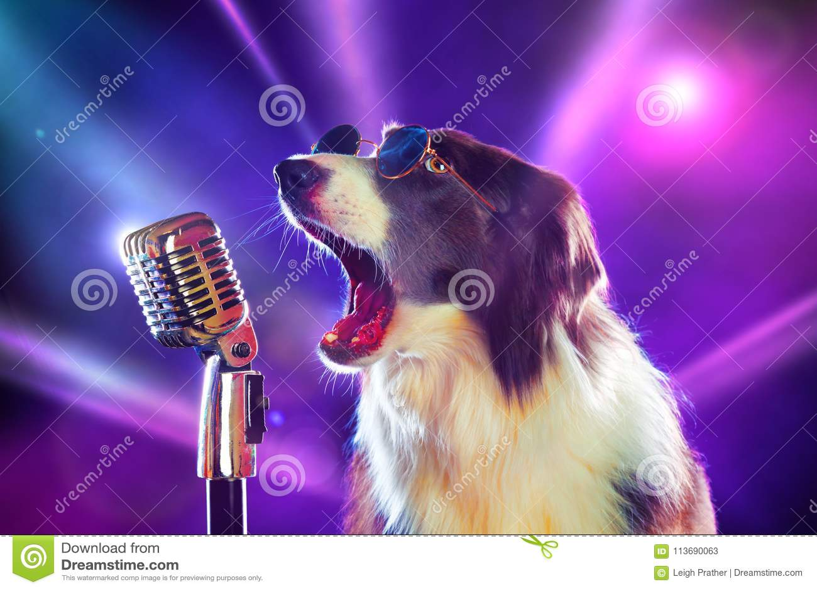 Rock star border collie dog singing