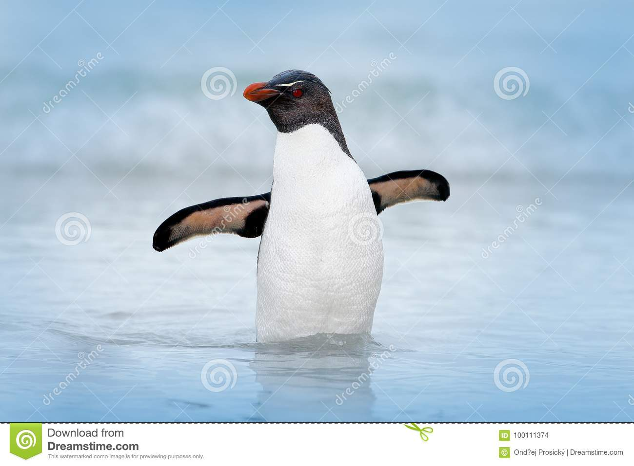 Rockhopper penguin, Eudyptes chrysocome, swimming in the water, flight above waves. Black and white sea bird, Sea Lion Island, Fa