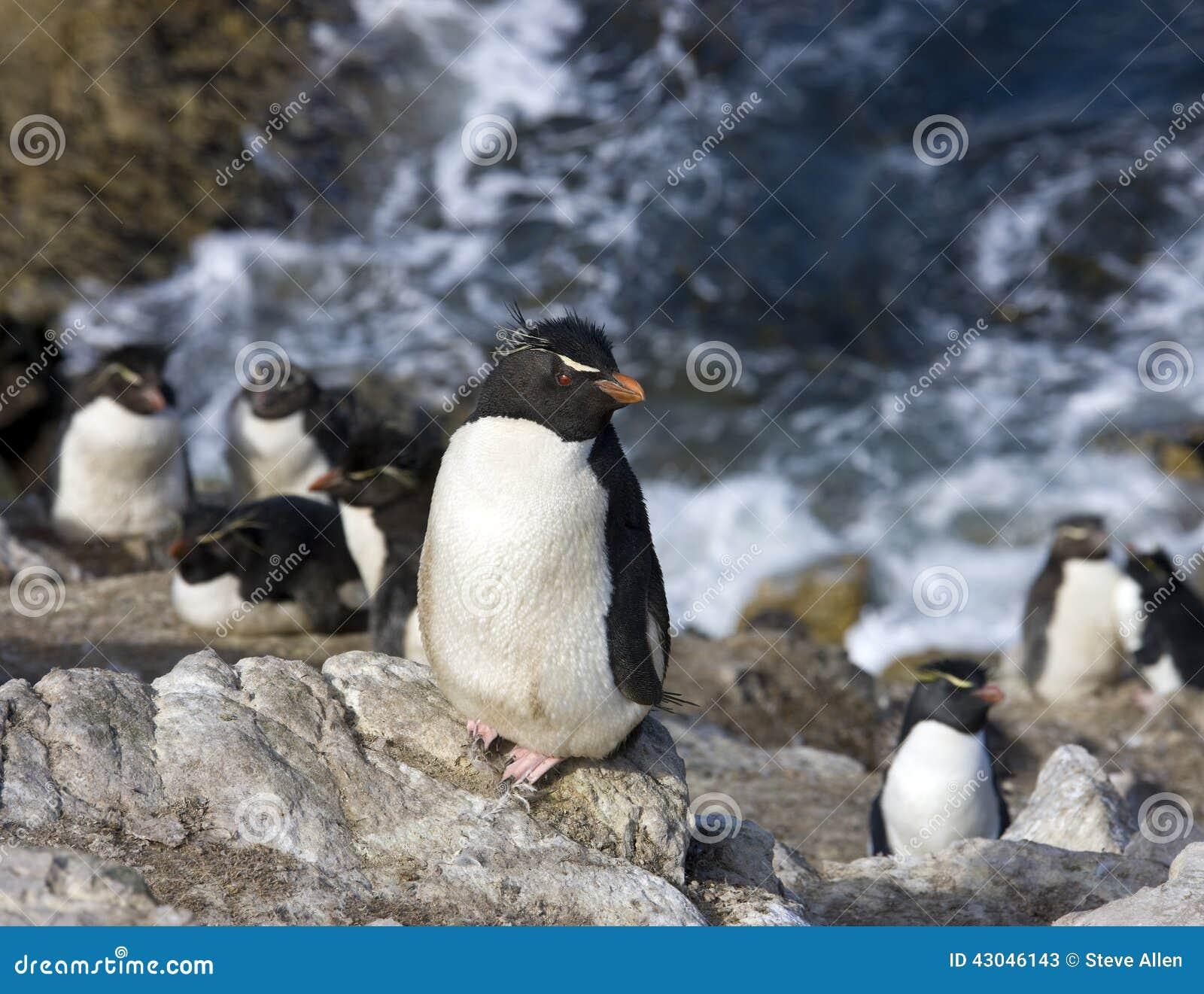 Rockhopper Penguins on Pebble Island in The Falkland Islands