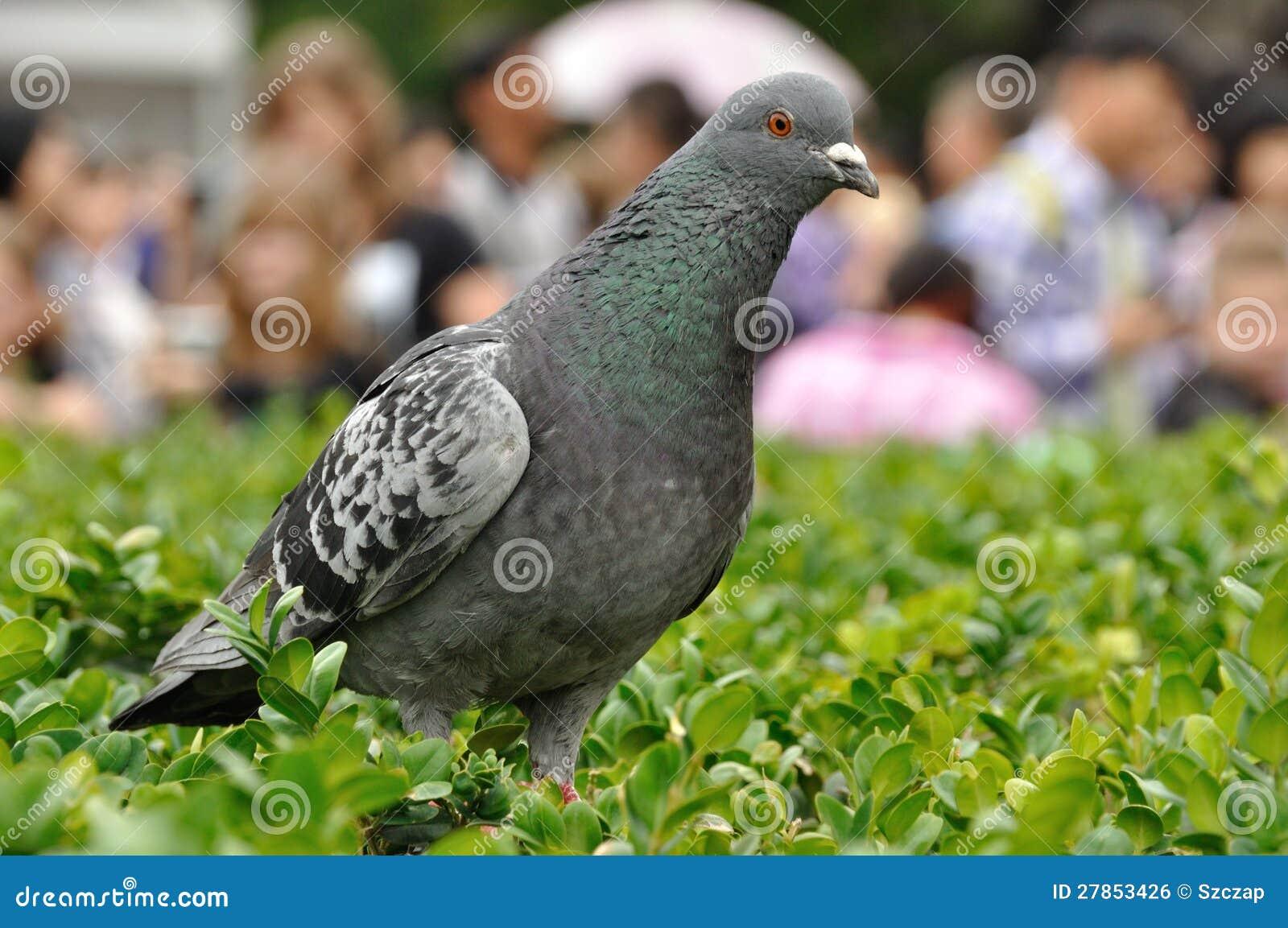 Rockowa gołąbka