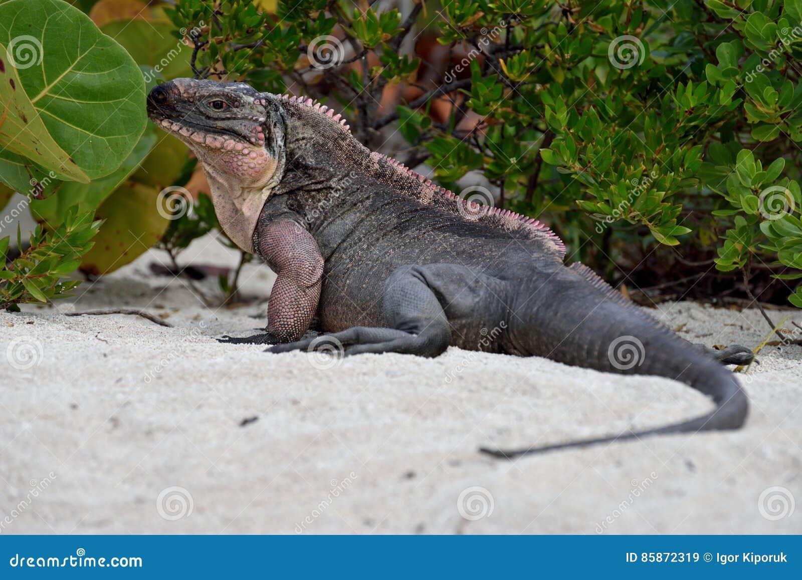 Rockowa iguana