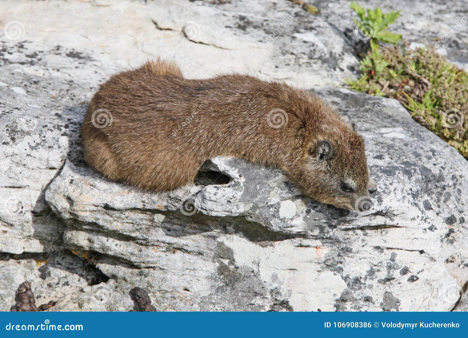 Rockowego góralka Procavia capensis