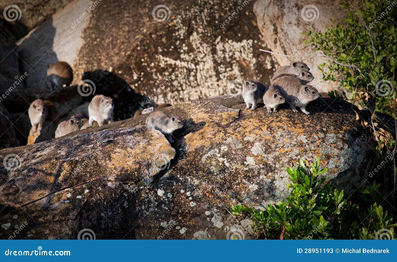 Rockowego góralka stado w Serengeti, Tanzania, Afryka.