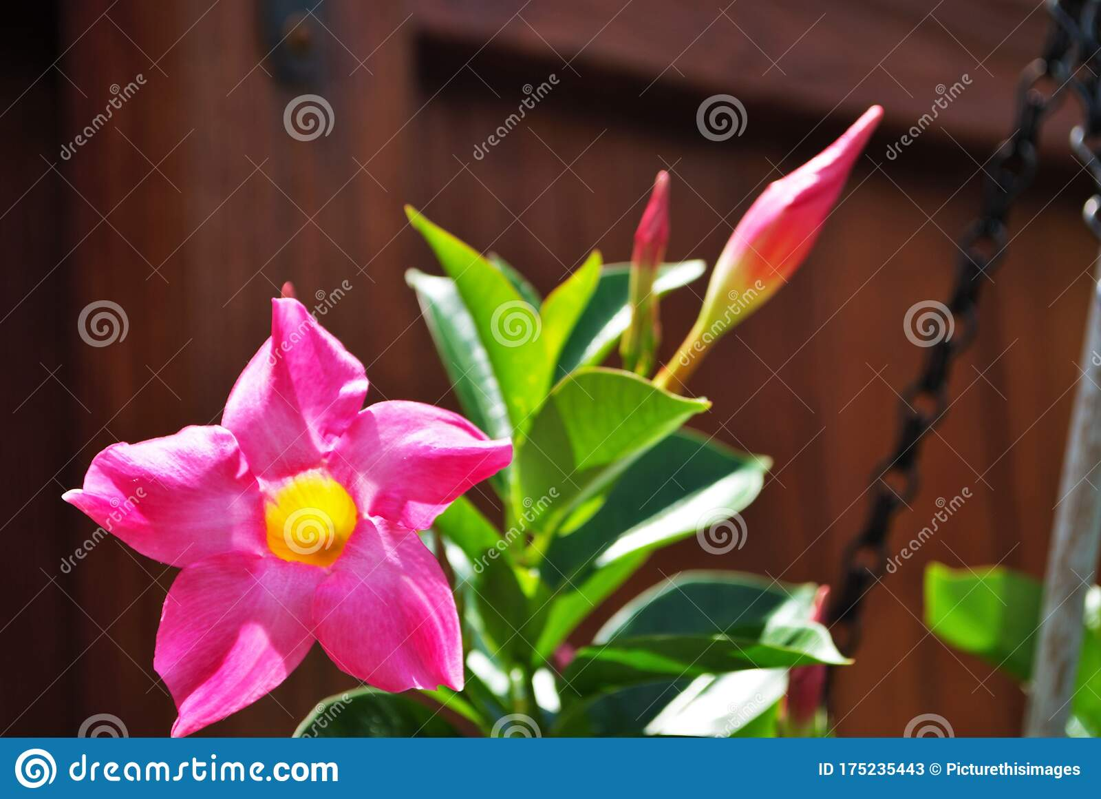 Rocktrumpet Mandevilla Plant Growing In My Front Yard Flower Bed Spring Time Stock Image Image Of Botanical Little 175235443