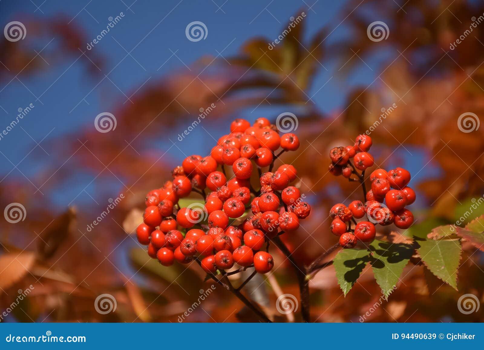 Rocky Mountain Ash Berries