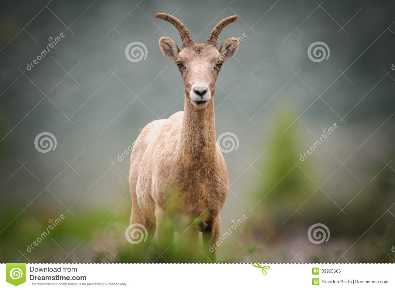 Rocky Mountain Bighorn Sheep (Ovis Canadensis) Royalty Free Stock ...