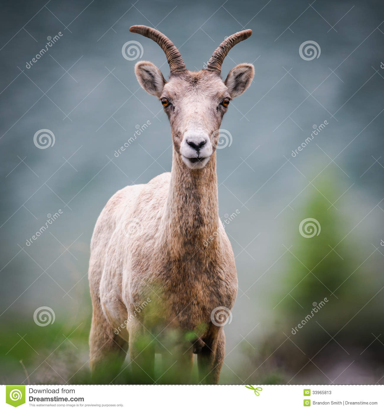 Rocky Mountain Bighorn Sheep (Ovis Canadensis) Stock Photos - Image ...