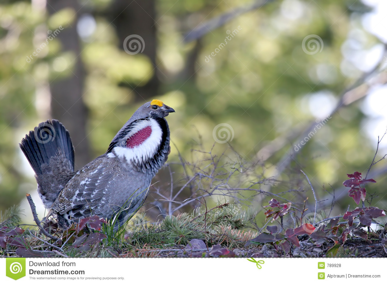 Royalty Free Stock Photos Rocky Mountain Blue Grouse Image789928 besides Rgs taxidermy for sale likewise Tundra together with Tundra further How Terrestrial Animals Survive In Very Cold Climates. on animal image grouse