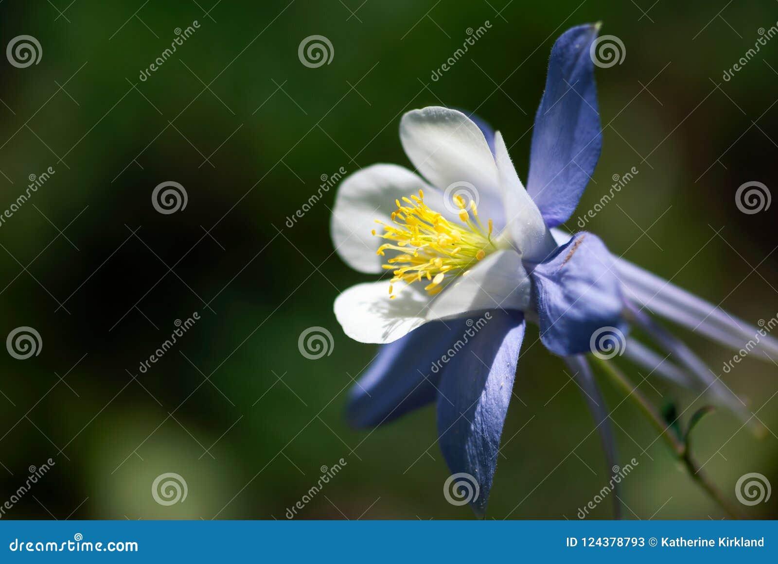 Rocky Mountain Columbine Stock Image Image Of Fragile 124378793