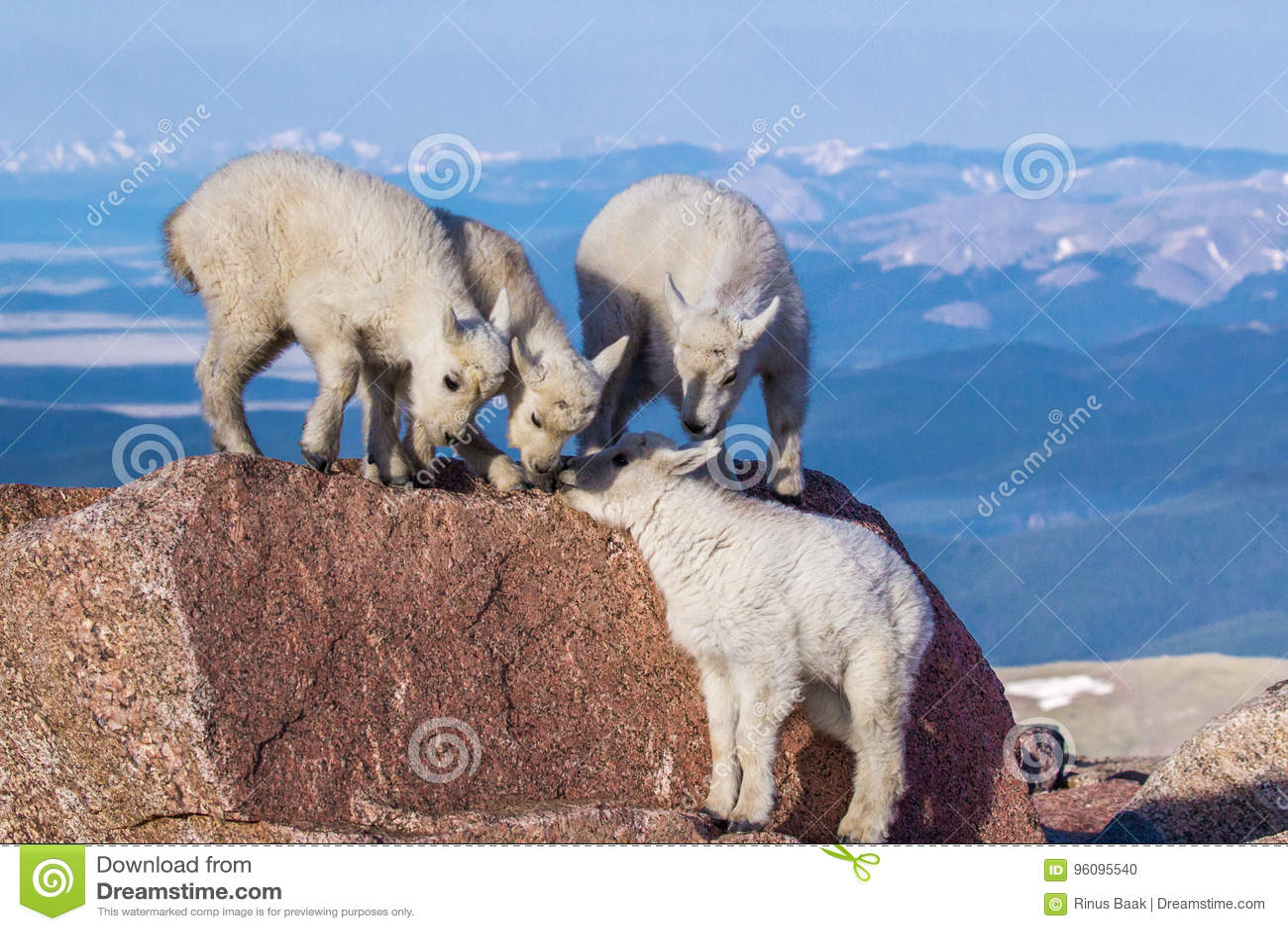 Rocky Mountain Goat Kids