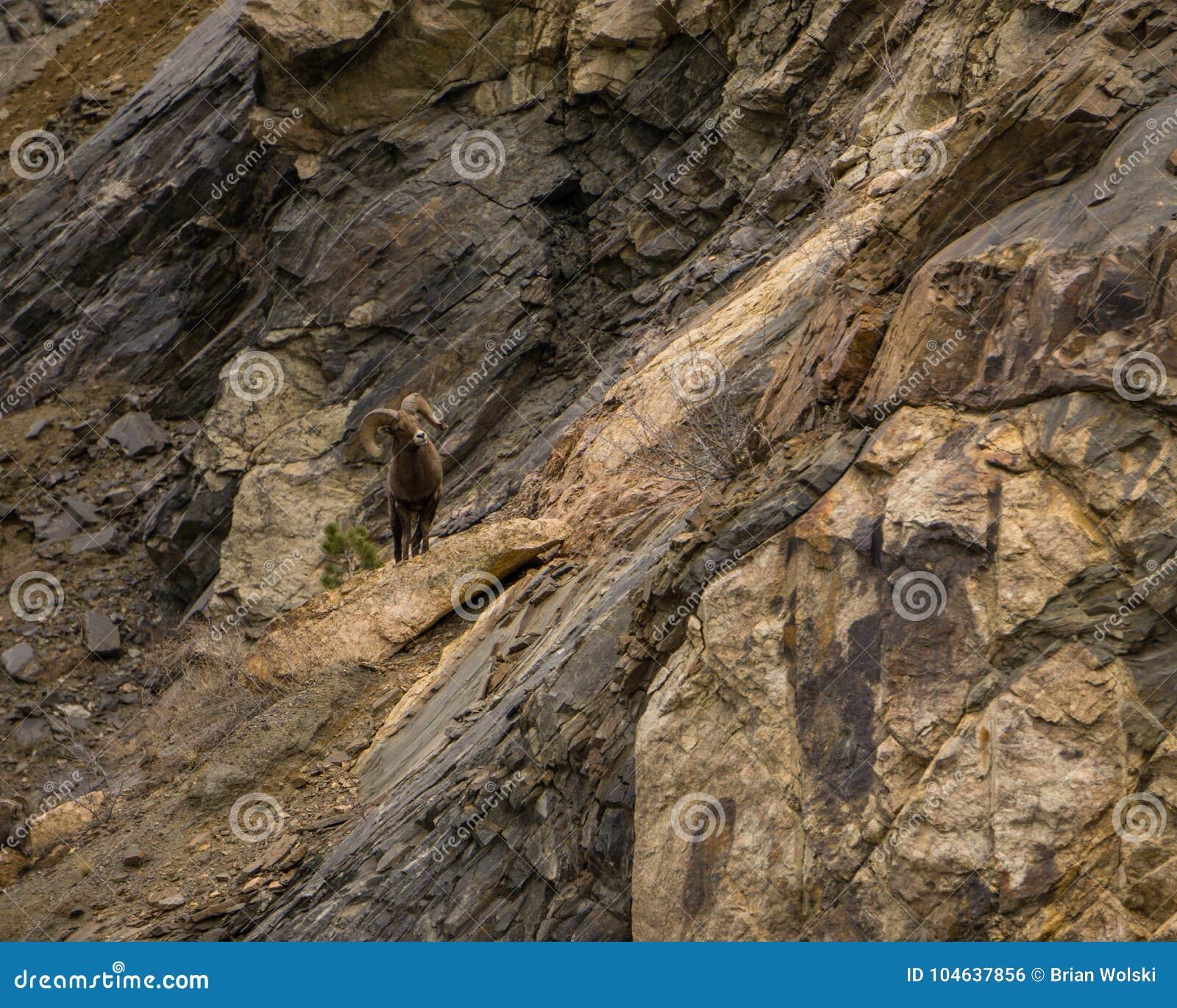 Download Rocky Mountain Ram stock foto. Afbeelding bestaande uit bergen - 104637856
