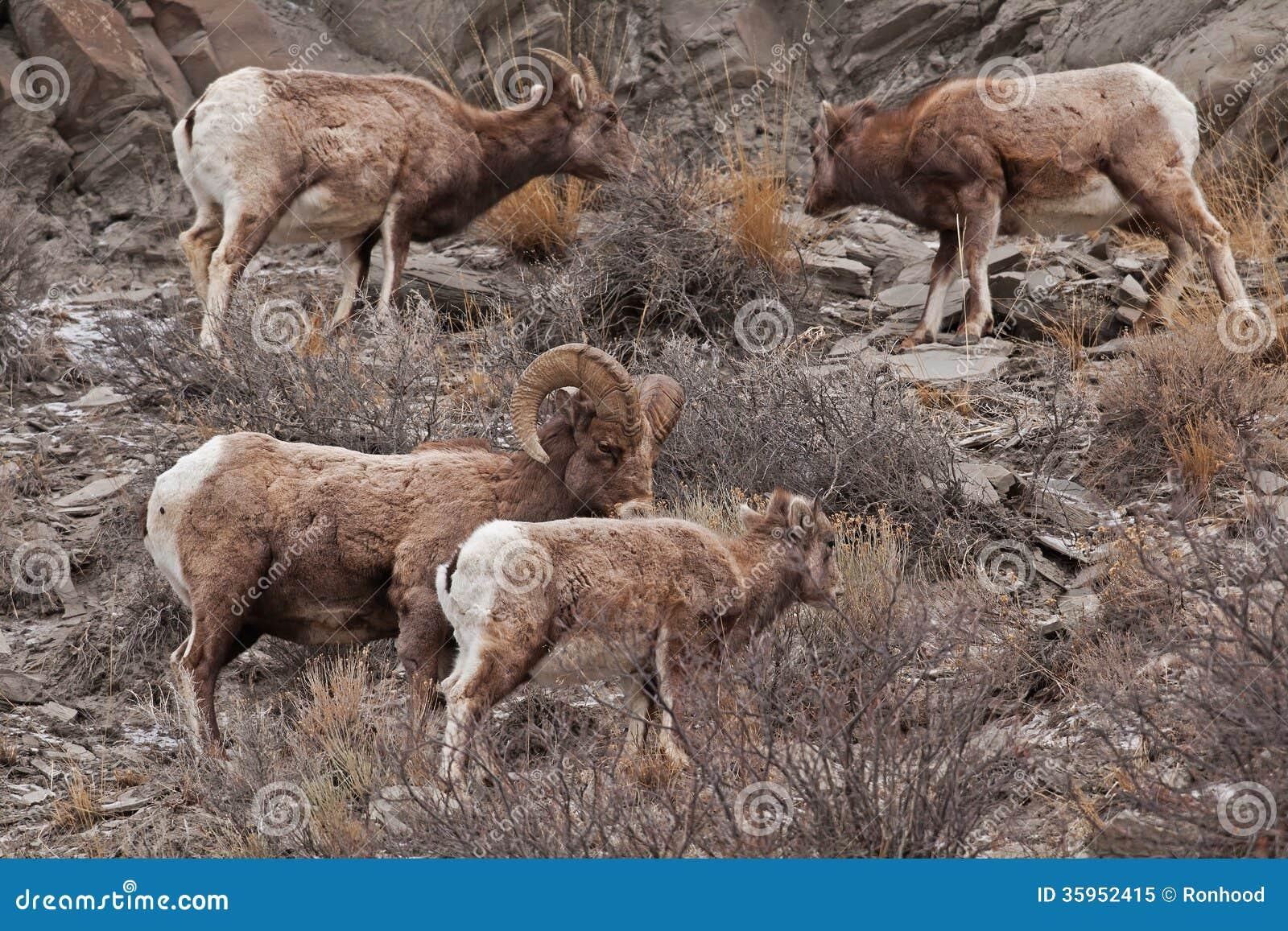 Rocky Mountain Sheed