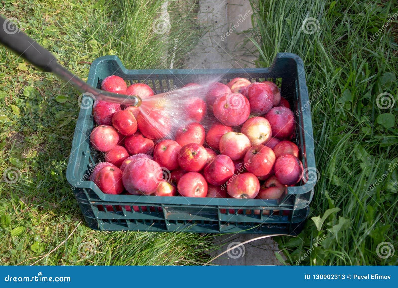 Rode appelen in een mand gewassen outdor