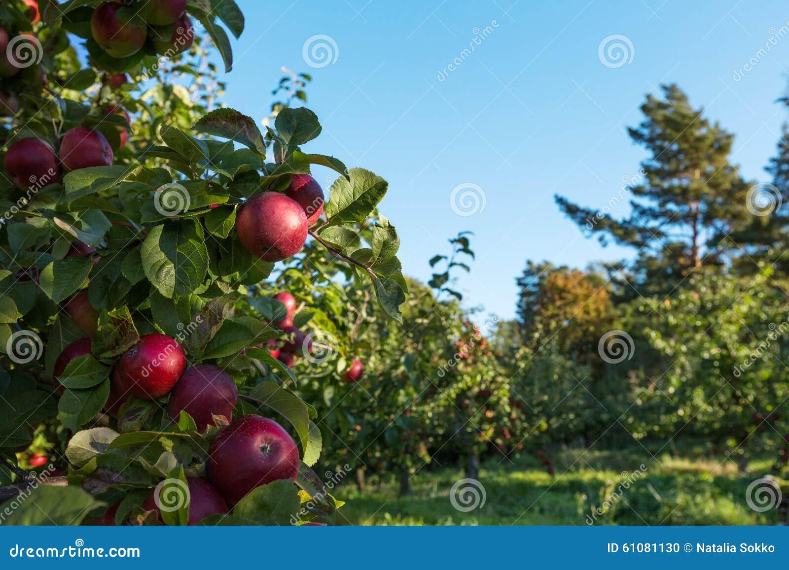 Rode appelen op de boom