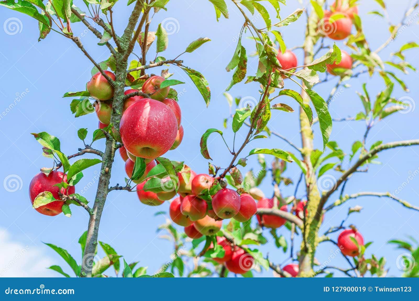 Rode appelen op jonge bomen in de tuin tegen de achtergrond o
