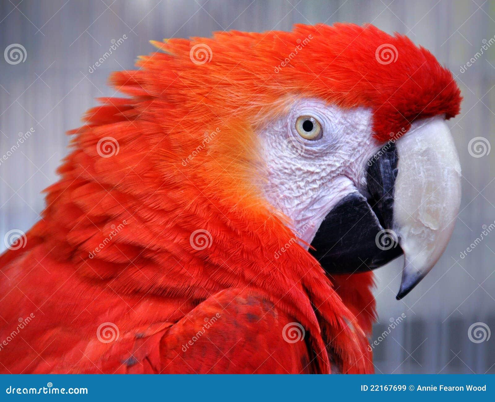 Rode ara (ararauna van Aronskelken)