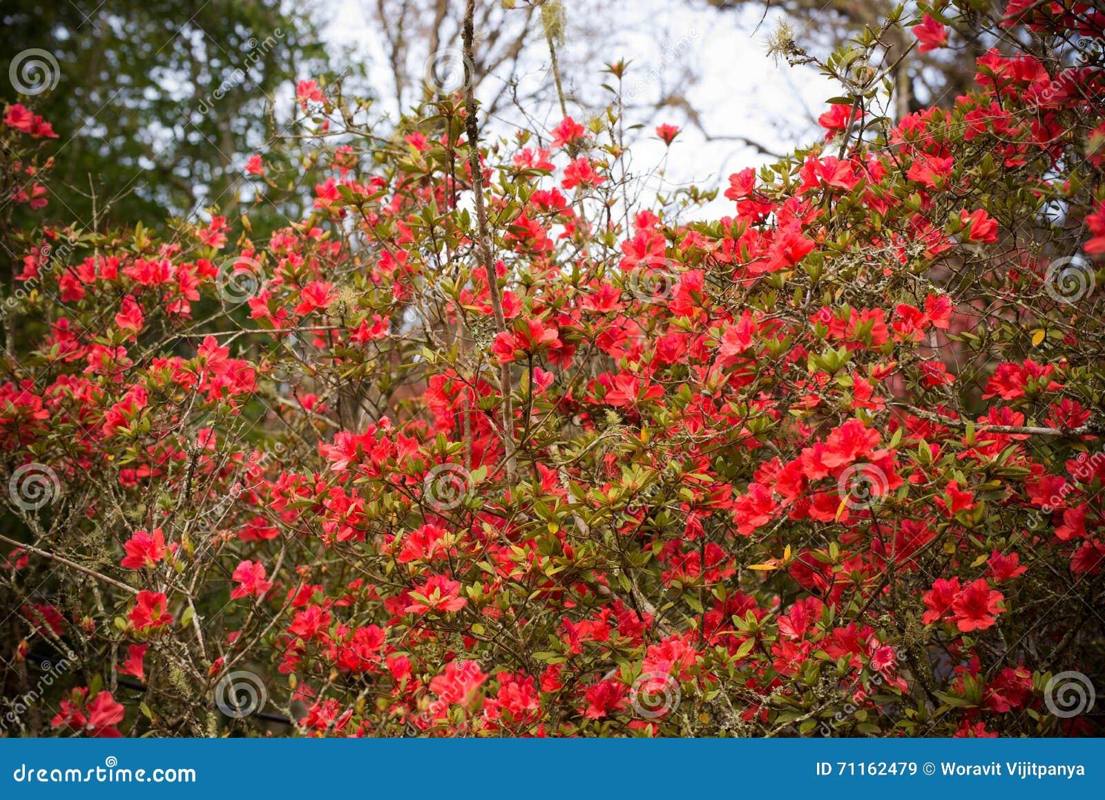 Rode azalea