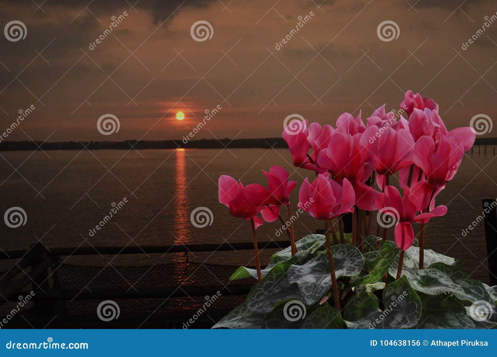 Rode begoniabloemen met zonsopgang in de ochtend