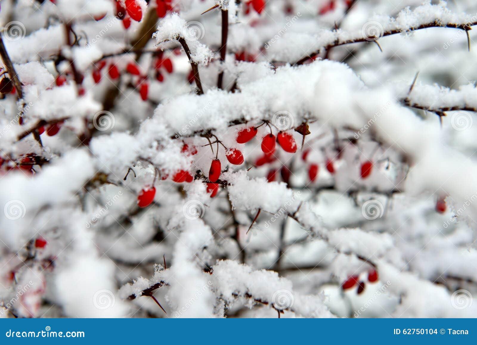 Rode Bessen onder Sneeuw